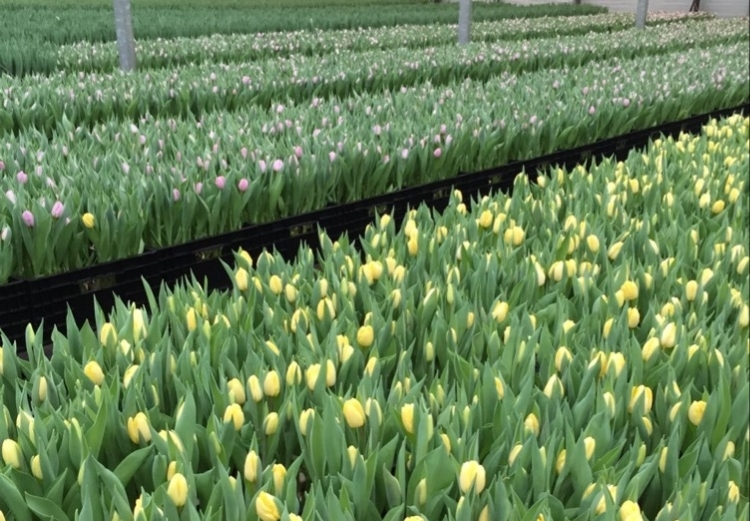 British Flowers Week 2016, Tulips in Glass House at Smith and Munson, presented to you by New Covent Garden Flower Market and the NFU