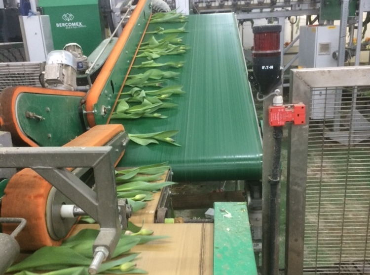 British Flowers Week 2016, Tulips on the Conveyor at Lamb's Flowers Ltd, presented to you by New Covent Garden Flower Market