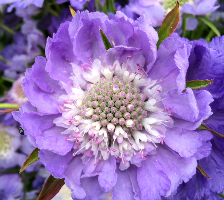 British Flowers Week 2016, A Gorgeous Scabious from Field House Flowers, presented to you by New Covent Garden Flower Market