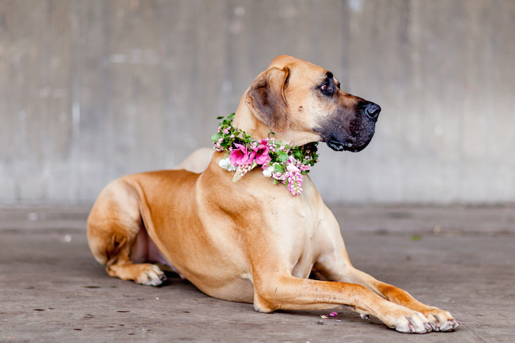 Day 2 of British Flowers Week 2016, featuring Huxley with a vibrant floral collar designed by Florence Kennedy of Petalon, presented to you by New Covent Garden Flower Market