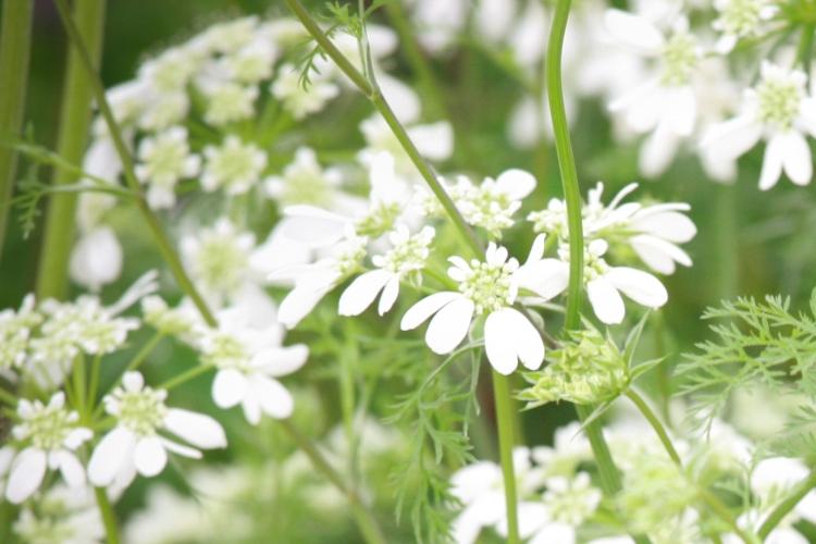 Day-2-British-Flowers-Week-2016-Orlaya-grandiflora-1-New-Covent-Garden-Flower-Market-Flowerona