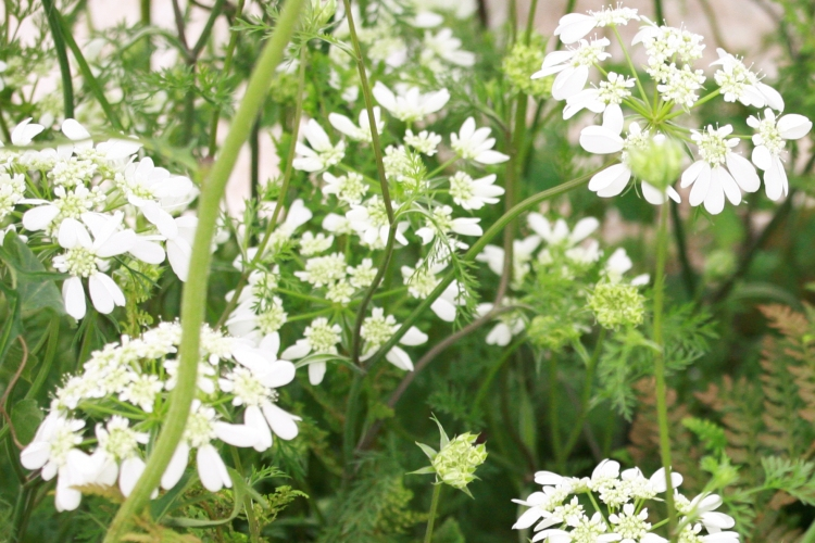 Day-2-British-Flowers-Week-2016-Orlaya-grandiflora-2-New-Covent-Garden-Flower-Market-Flowerona