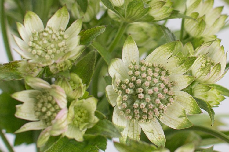 Day 3 of British Flowers Week, featuring Astrantia, presented to you by New Covent Garden Flower Market
