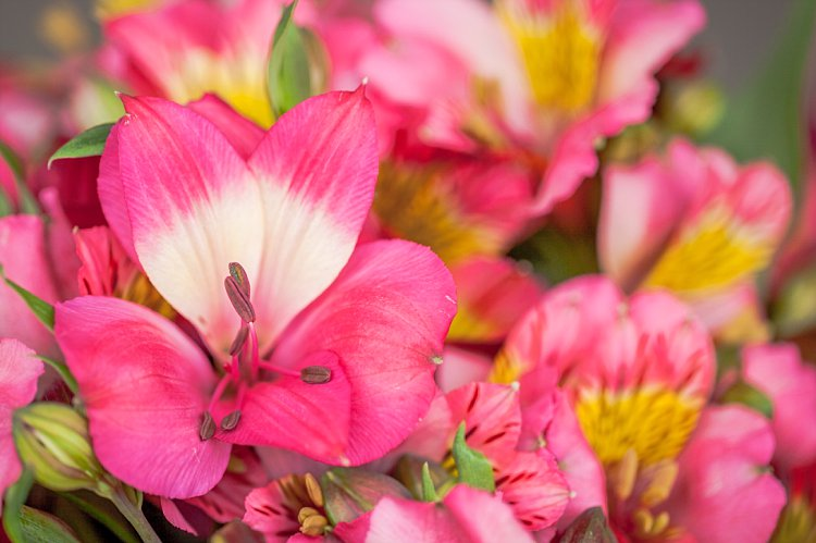 Day 5 British Flowers Week 2016 with Pink British Alstroemeria presented to you by New Covent Garden Flower Market