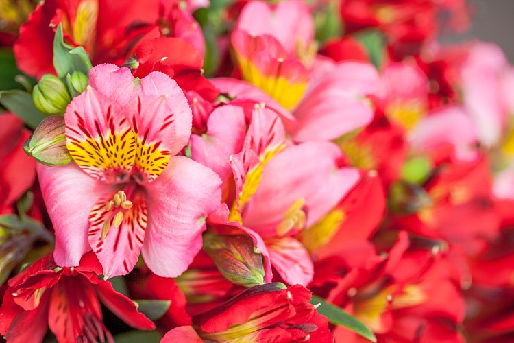 Day 5 British Flowers Week 2016 with Pink and red British Alstroemeria presented to you by New Covent Garden Flower Market