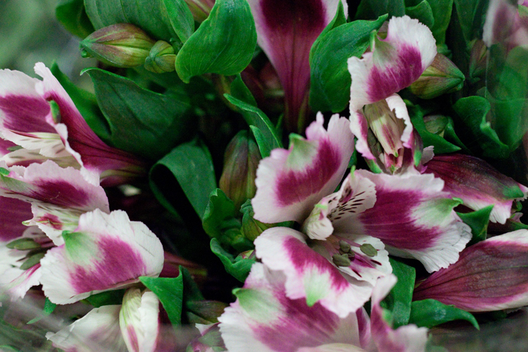 Day 5 British Flowers Week 2016 with purple and white British Alstroemeria presented to you by New Covent Garden Flower Market
