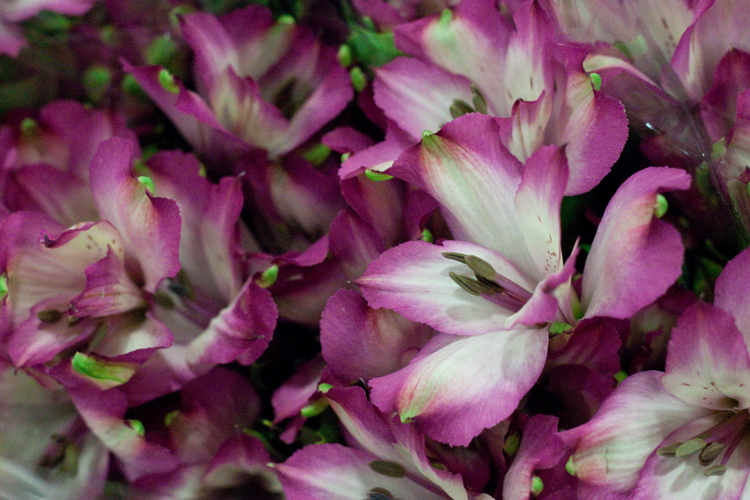 Day 5 British Flowers Week 2016 with Pink / purple and white British Alstroemeria presented to you by New Covent Garden Flower Market