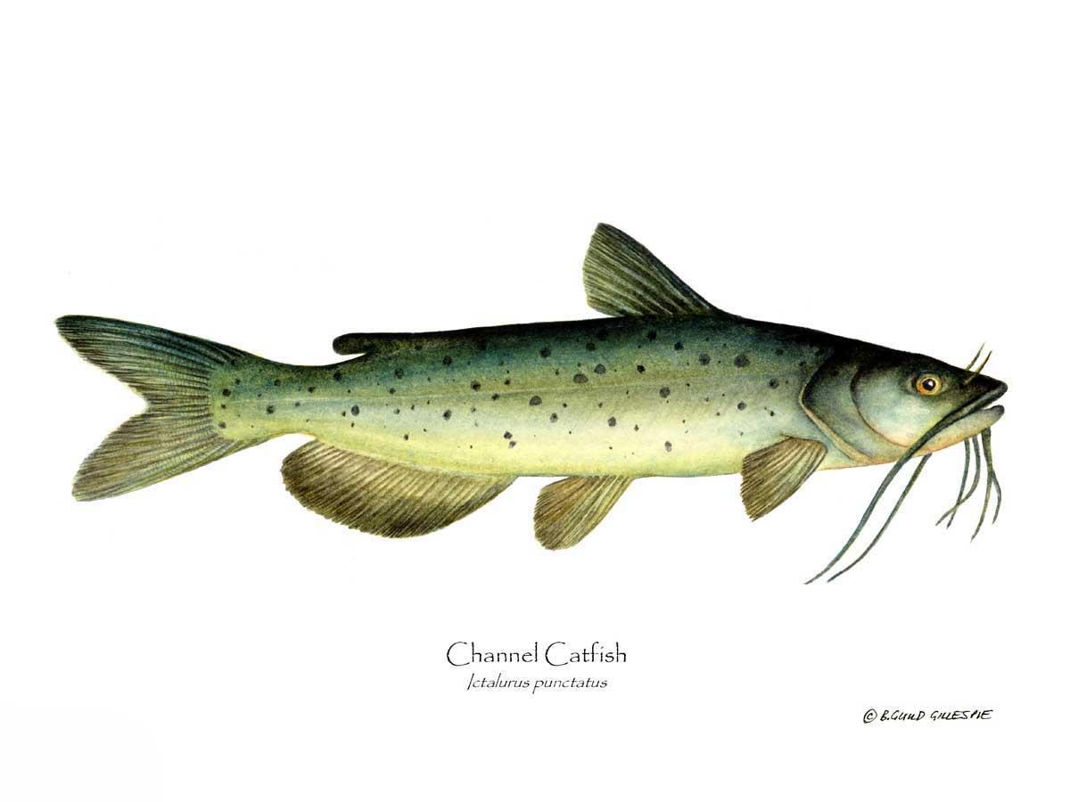 1034-Channel-Catfish.jpg