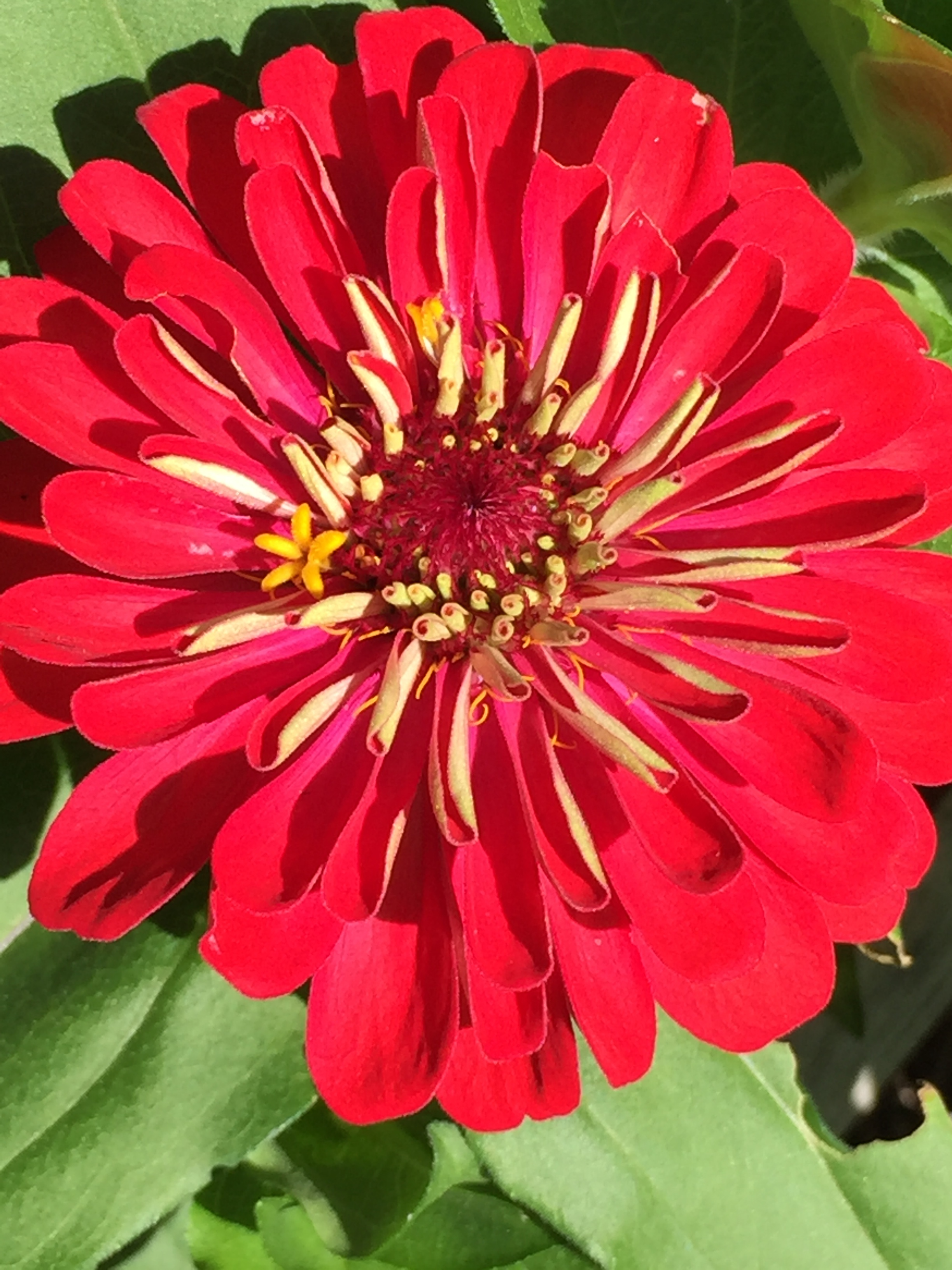 My garden is yielding gorgeous zinnias and cosmos  thanks  to the heat & humidity.  I, on the other hand, am wilting :-(