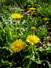 200x267xdandelions.png.pagespeed.ic.fkfbcLggHe.jpg