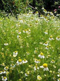 200x267xwhite_flowers.png.pagespeed.ic.r2cjOJ4lTU.jpg