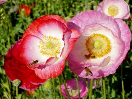 267x200xblossoms_and_bees.png.pagespeed.ic.7sX7Nkjjkp.jpg