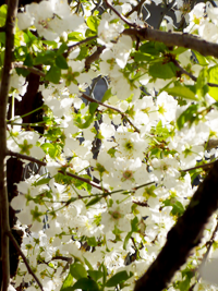 white_blossoms_tree.png
