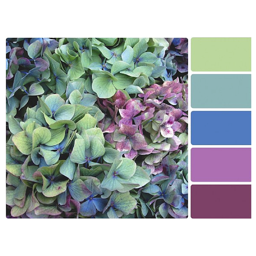 Analogous color palette courtesy of nature (Hydrangea's: our IRL example).  Photo Credit.