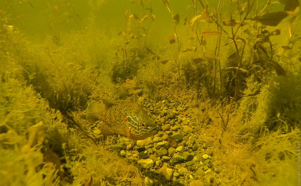 Pumpkinseed Sunfish-Pumpkinseed Sunfish Haven Hill Lake 2 1024x768.jpg