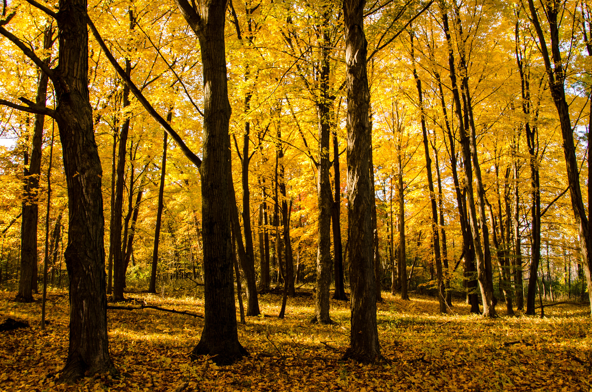 HH Fall Yellow Forest 101612.jpg