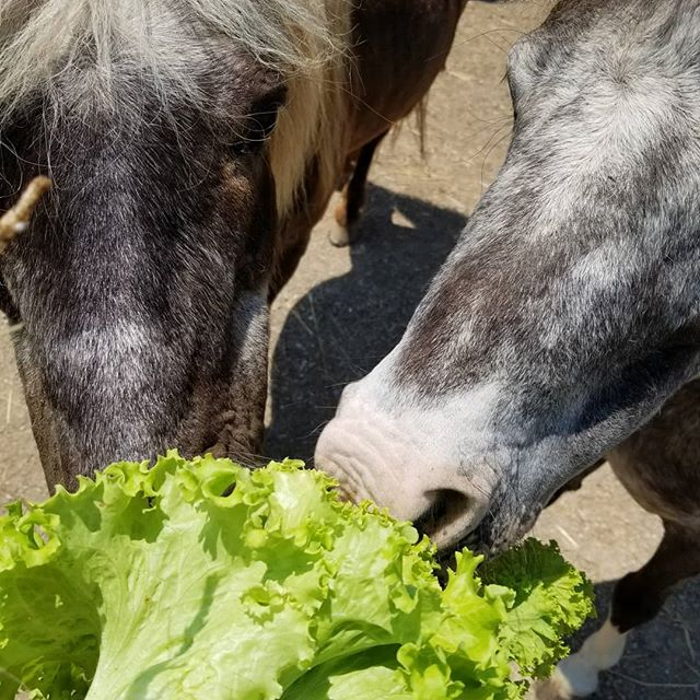 I haven't eaten homegrown leaf lettuce since the Inchworm Incident circa 1975... but the horses don't mind a little protein with their salad.  #nope #notgonnahappen #inchworm #garden #leaflettuce #storeboughtsalad #saladbar #countrylifestyle #countryside #nopenopenope