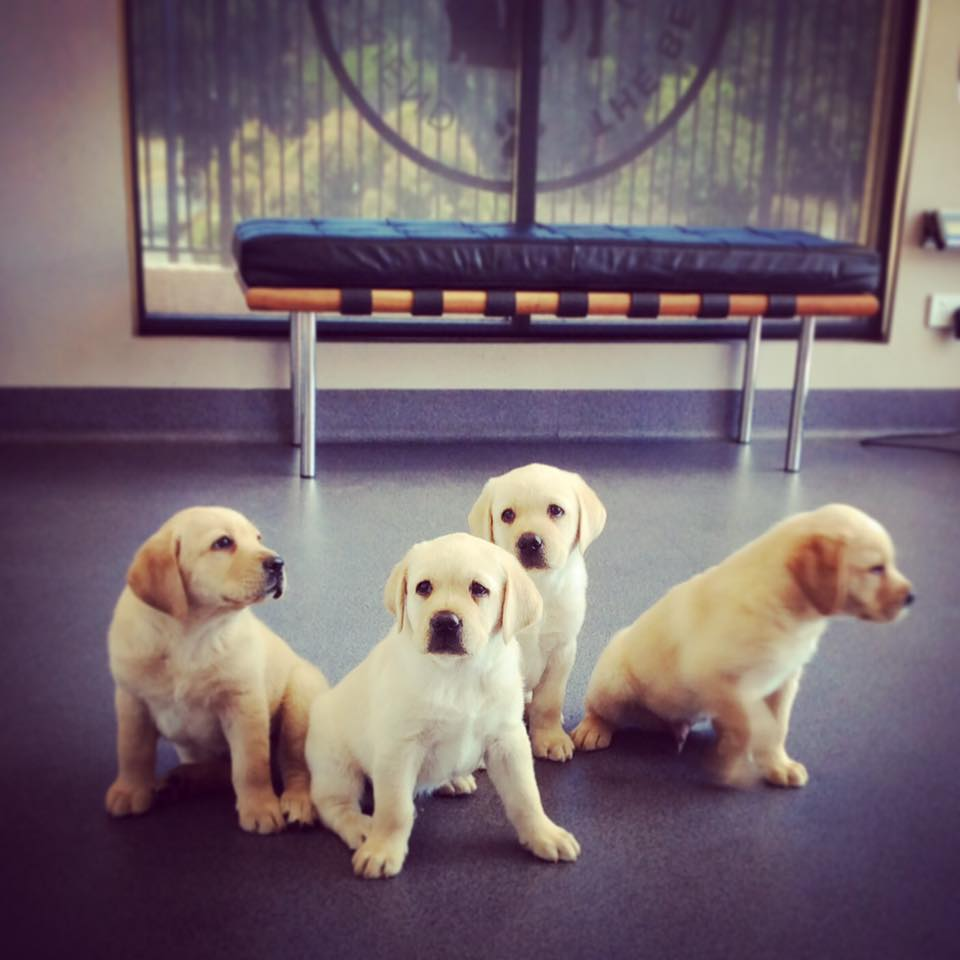 A group of little lab pups getting ready for their new homes...