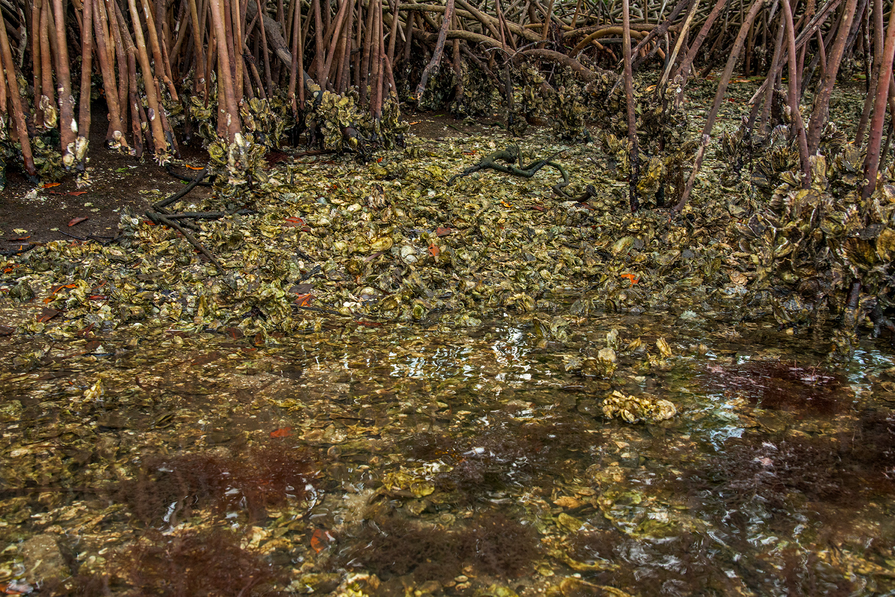 Oysters and Mangroves Filtering the Toxins of the Caloosahatchee River, Matlacha