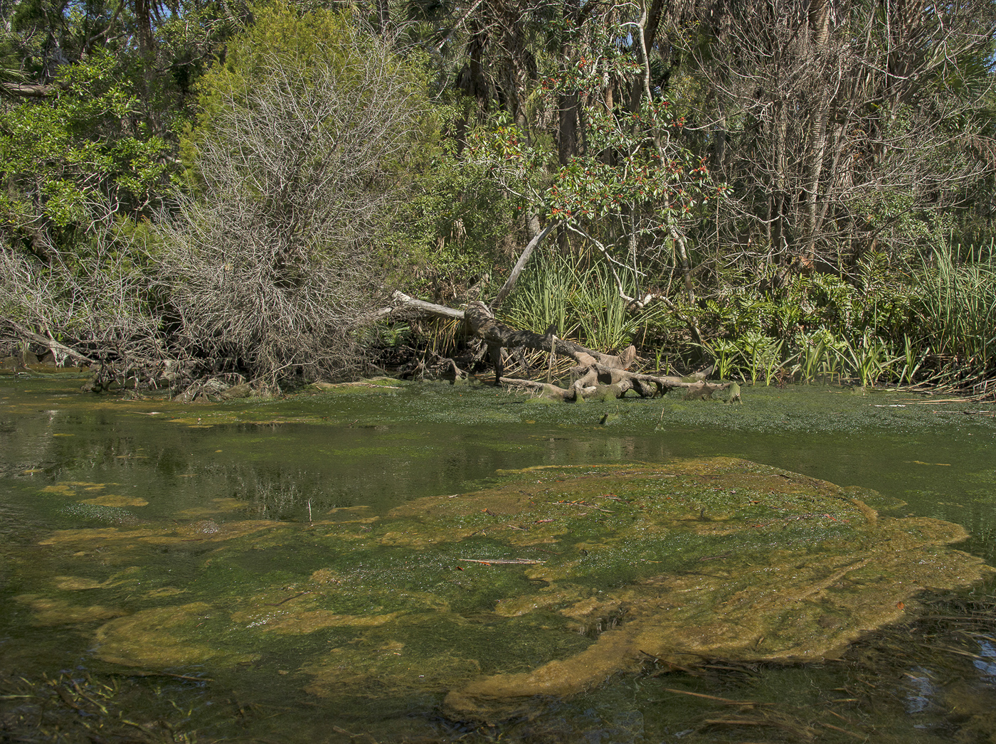 Muck and Green Slime, Chassahowitzka River