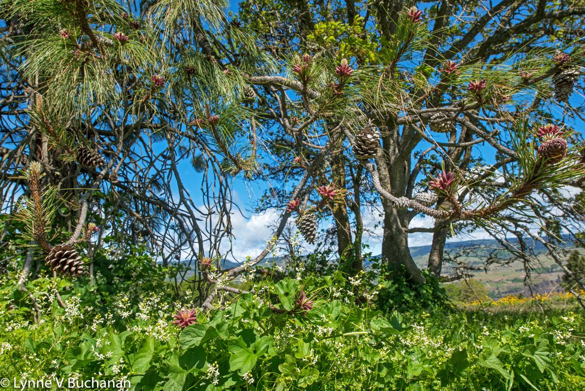 Flowering Pines