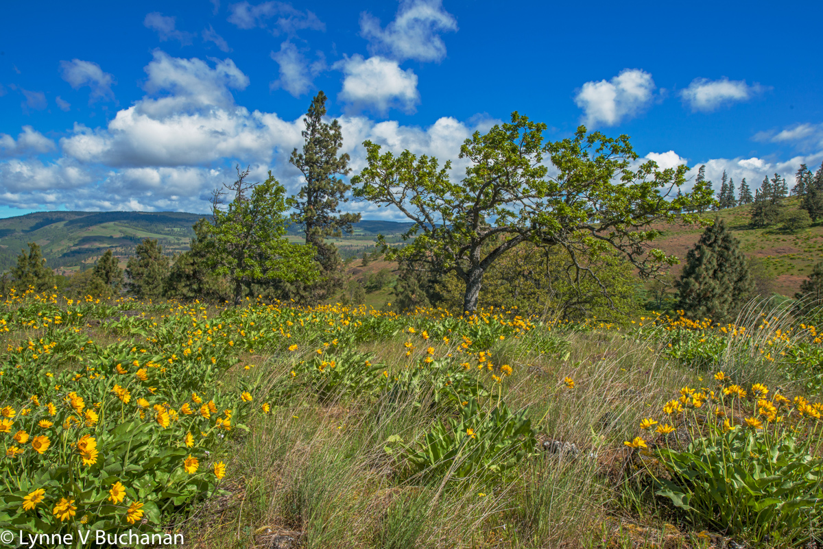 Spring Flowers, Columbia River Gorge