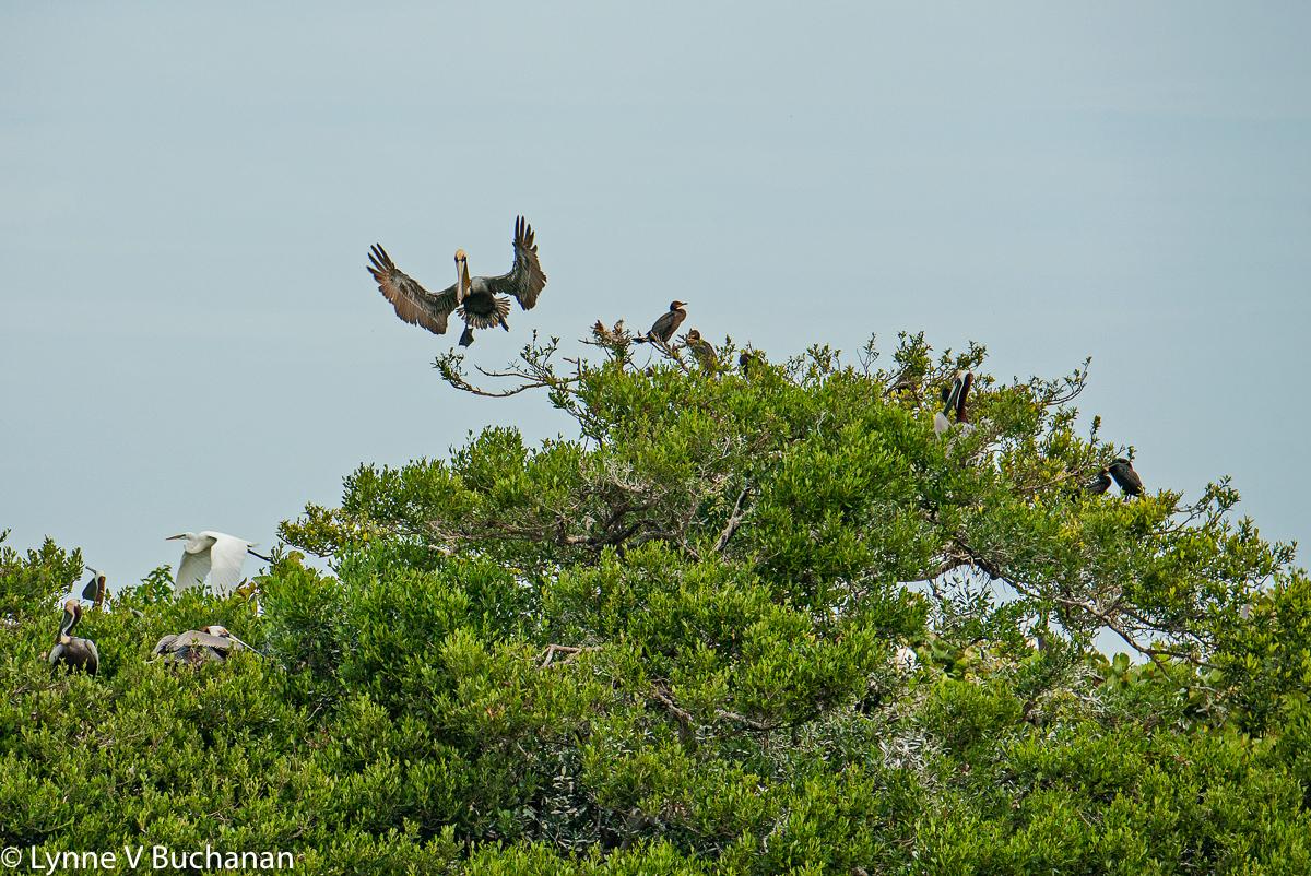 Incoming Pelican, Bird Island