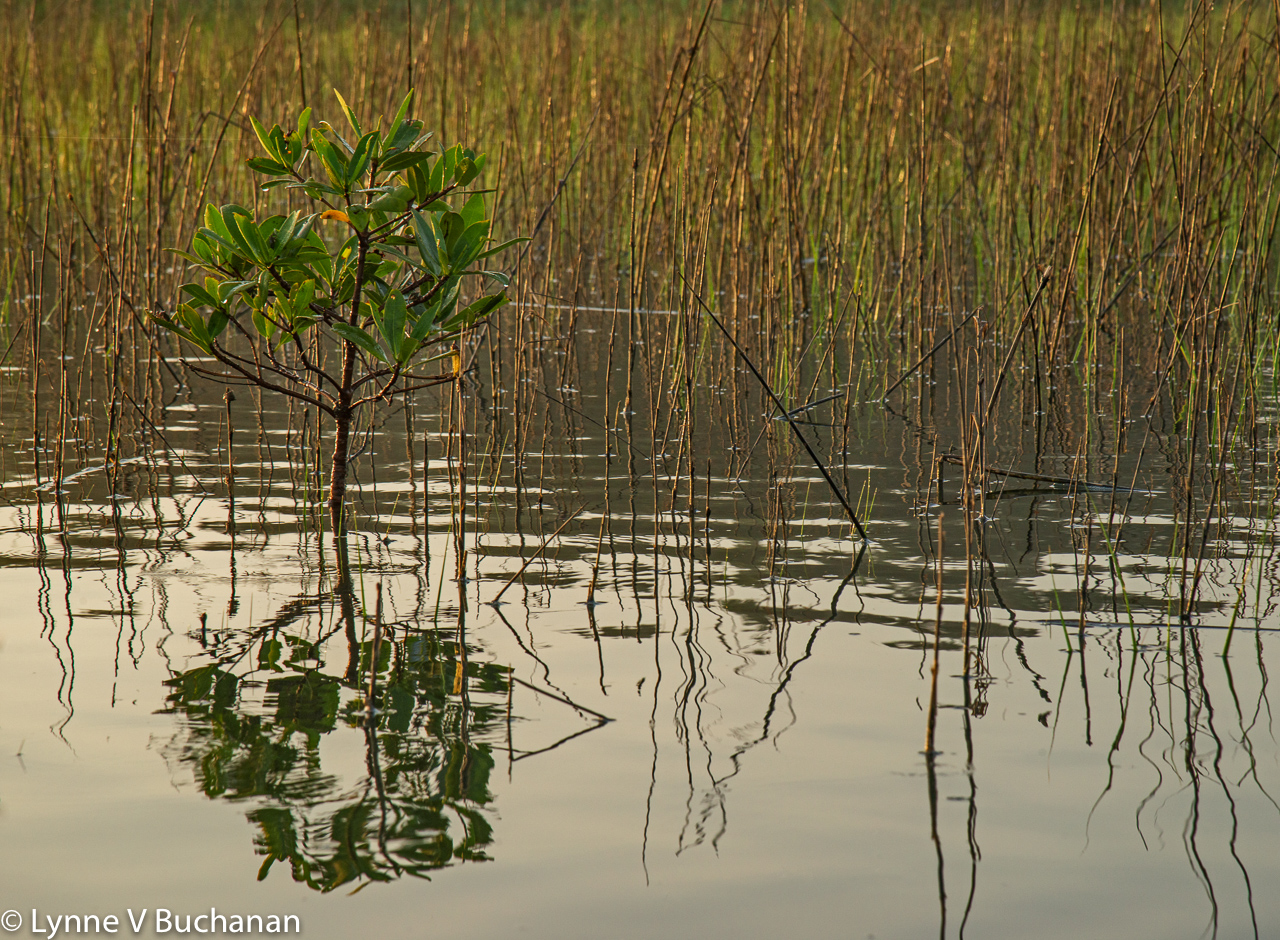 First Light on a Young Mangrove and Sea Grasses