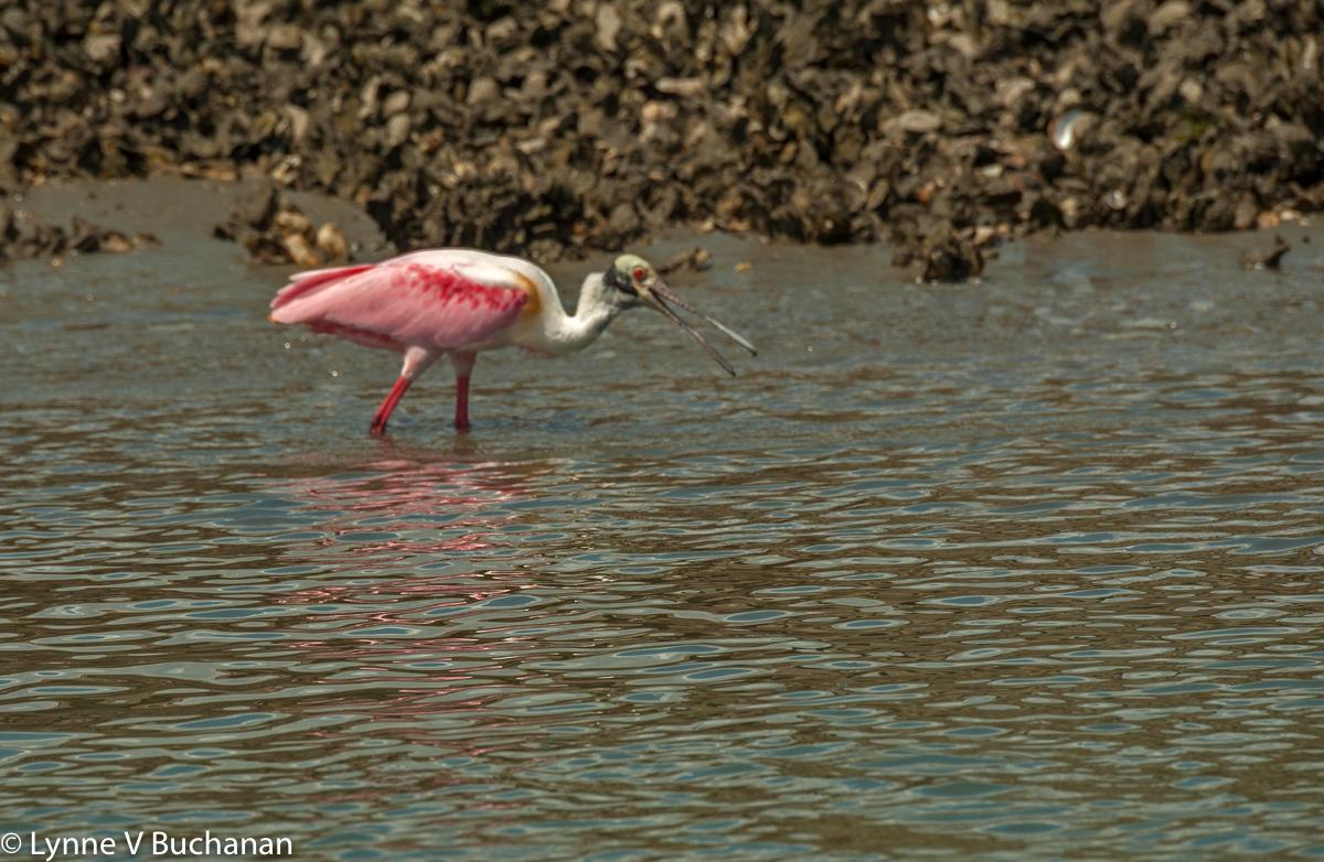 Roseate Spoonbill Fishing