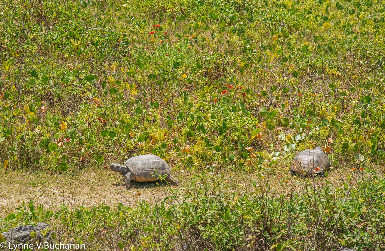 Gopher Tortoises, Matanzas Inlet