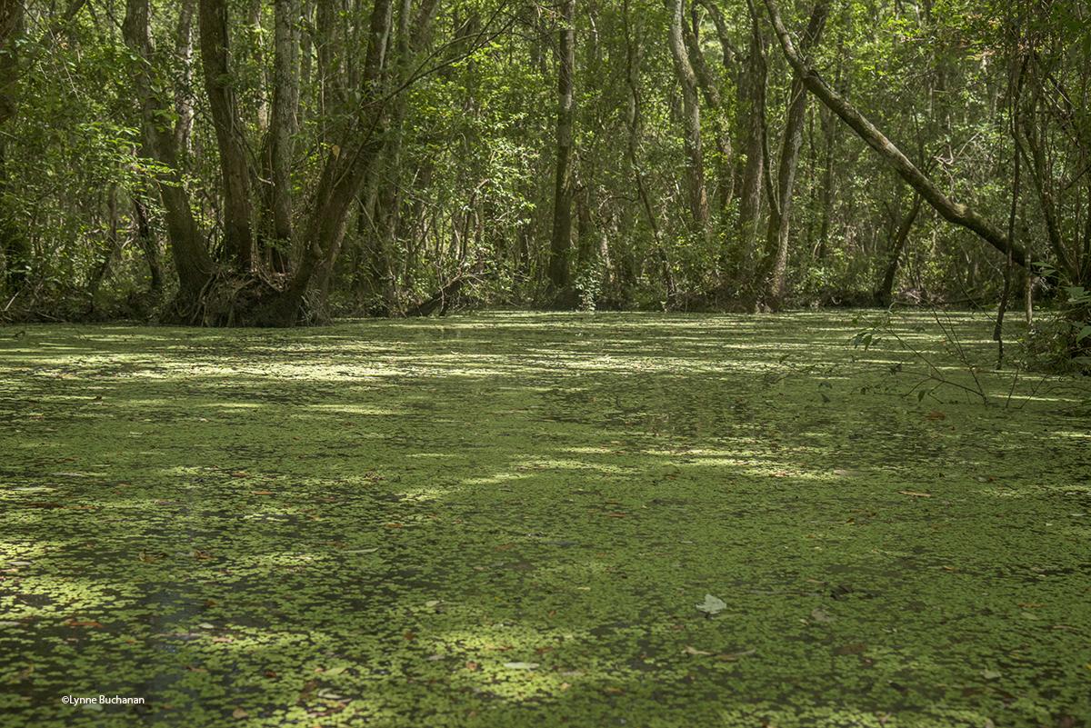 Duckweek Carpet, Tate's Hell
