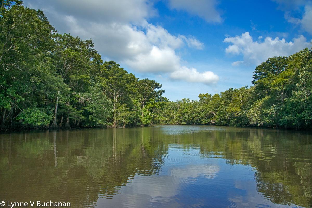 Tupelo Trees Along the Lake