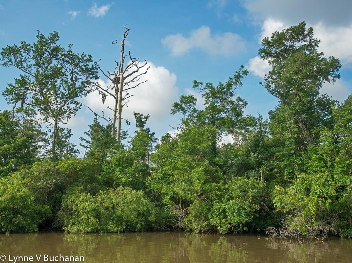 Osprey Nest, Apalachicola River