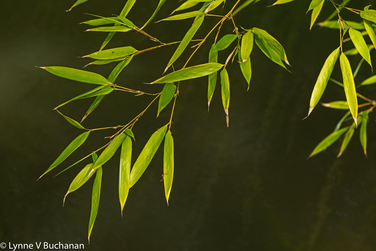 Bamboo Zen