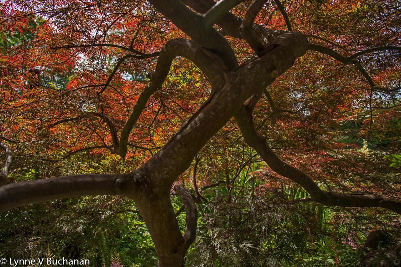 Beneath the Japanese Maple