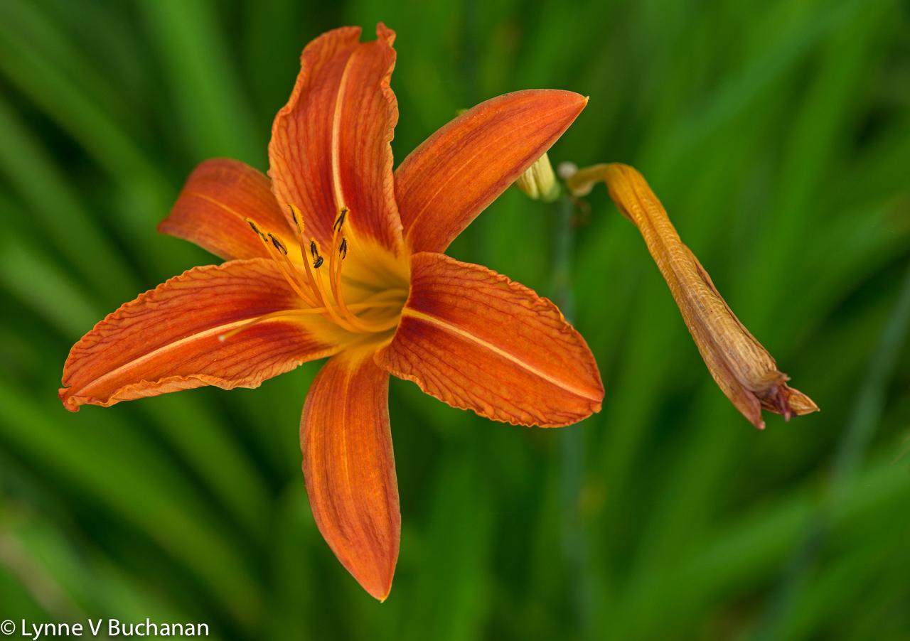Orange Lily and Stalks