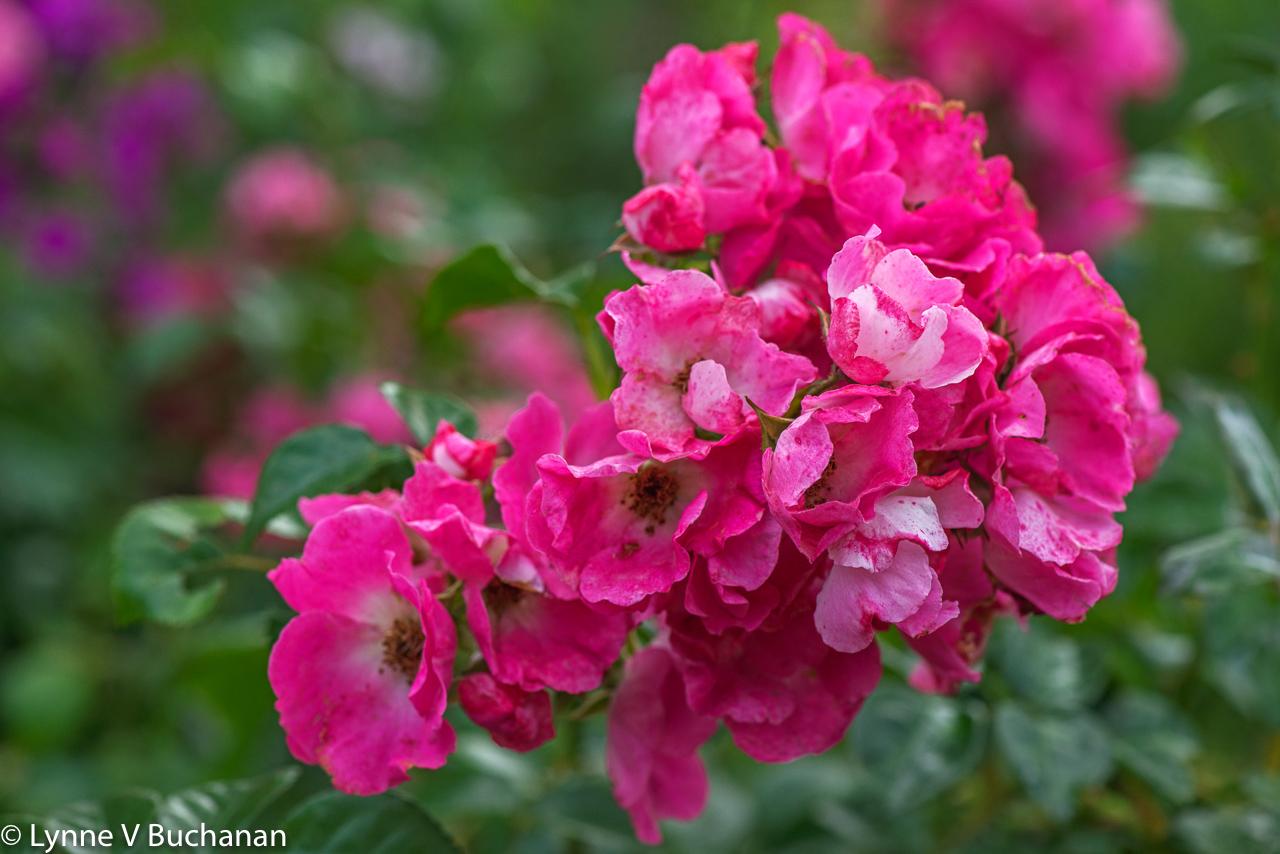 Monet's Roses
