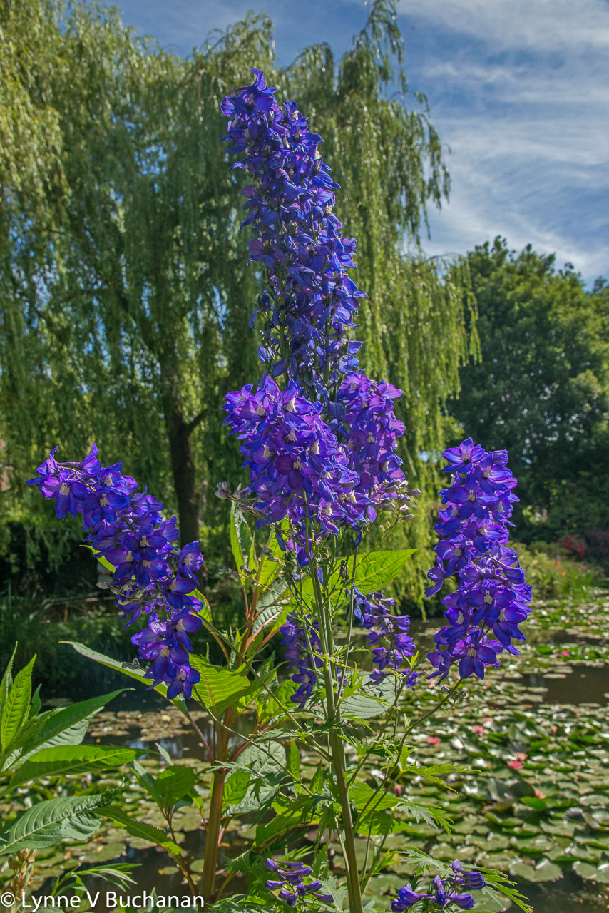 Purple Flowers Framed by a Willow Tree