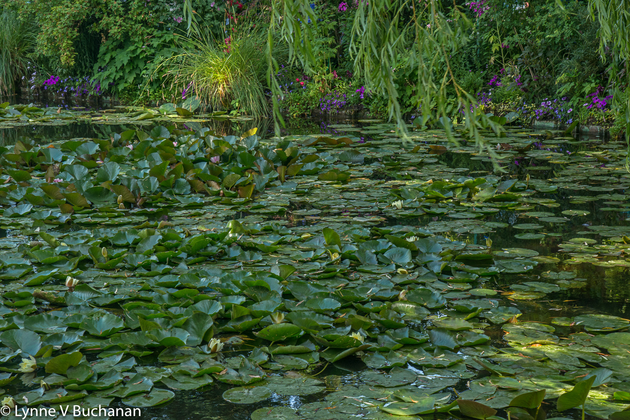 Water Lilies Through the Willows