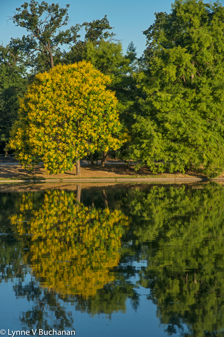 Reflections with Yellow Tree, Bois de Boulogne