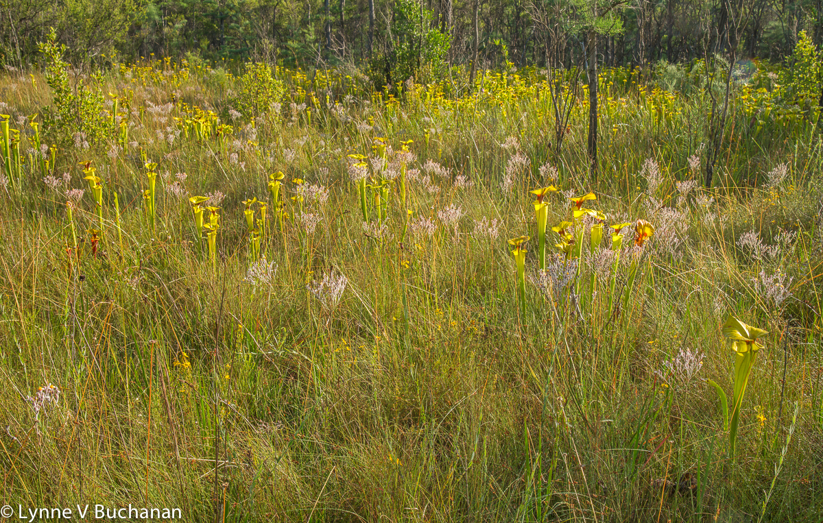 Field of Pitcher Plants