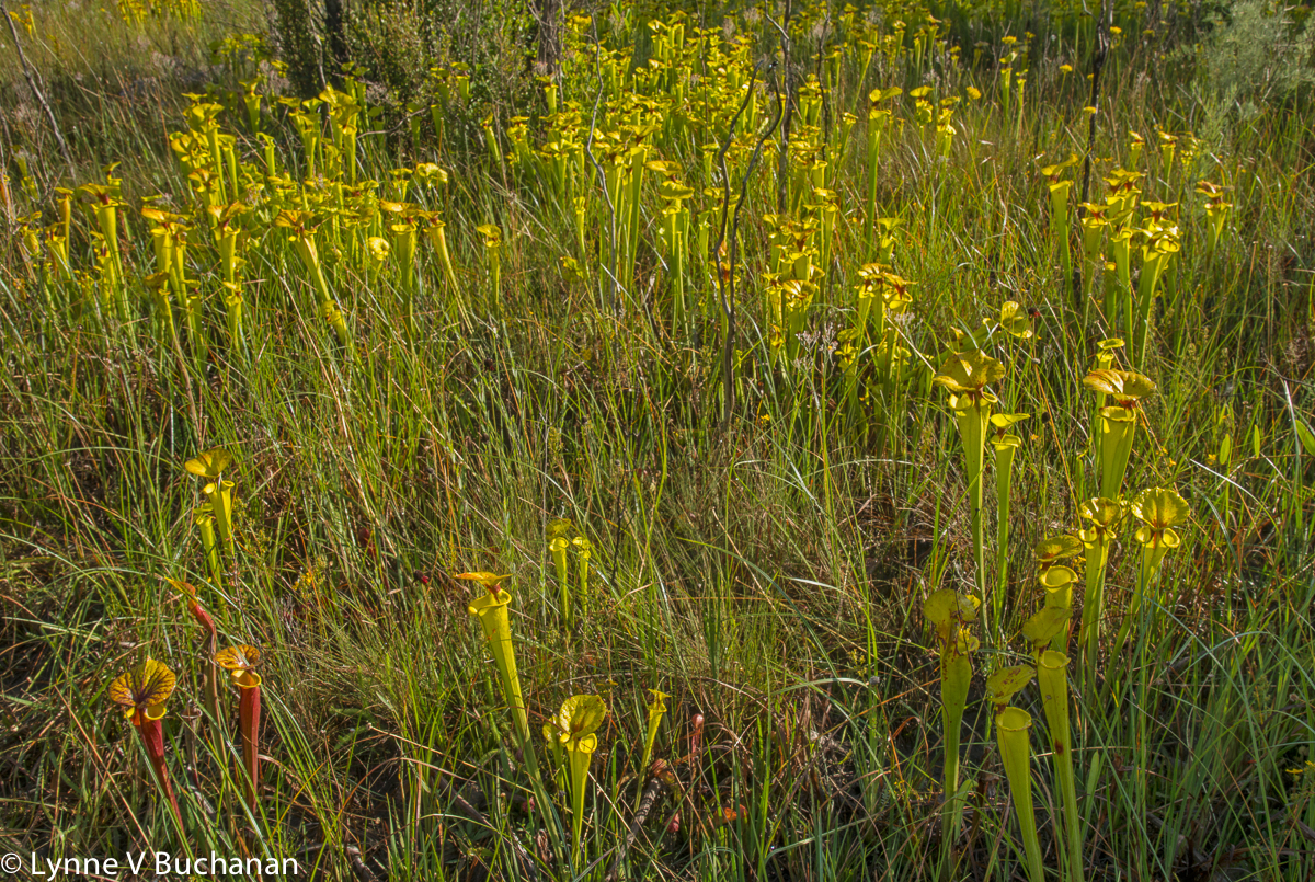 Yellow and Red Pitcher Plants