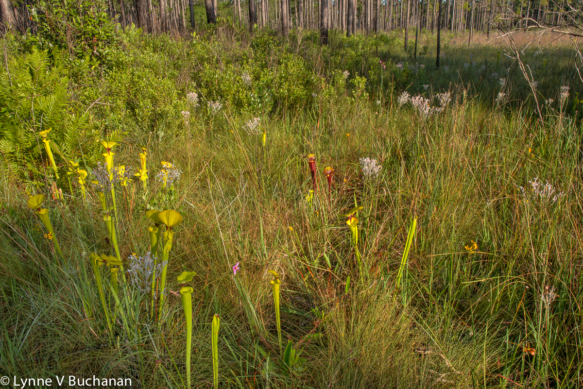 Pitcher Plants in the Forest
