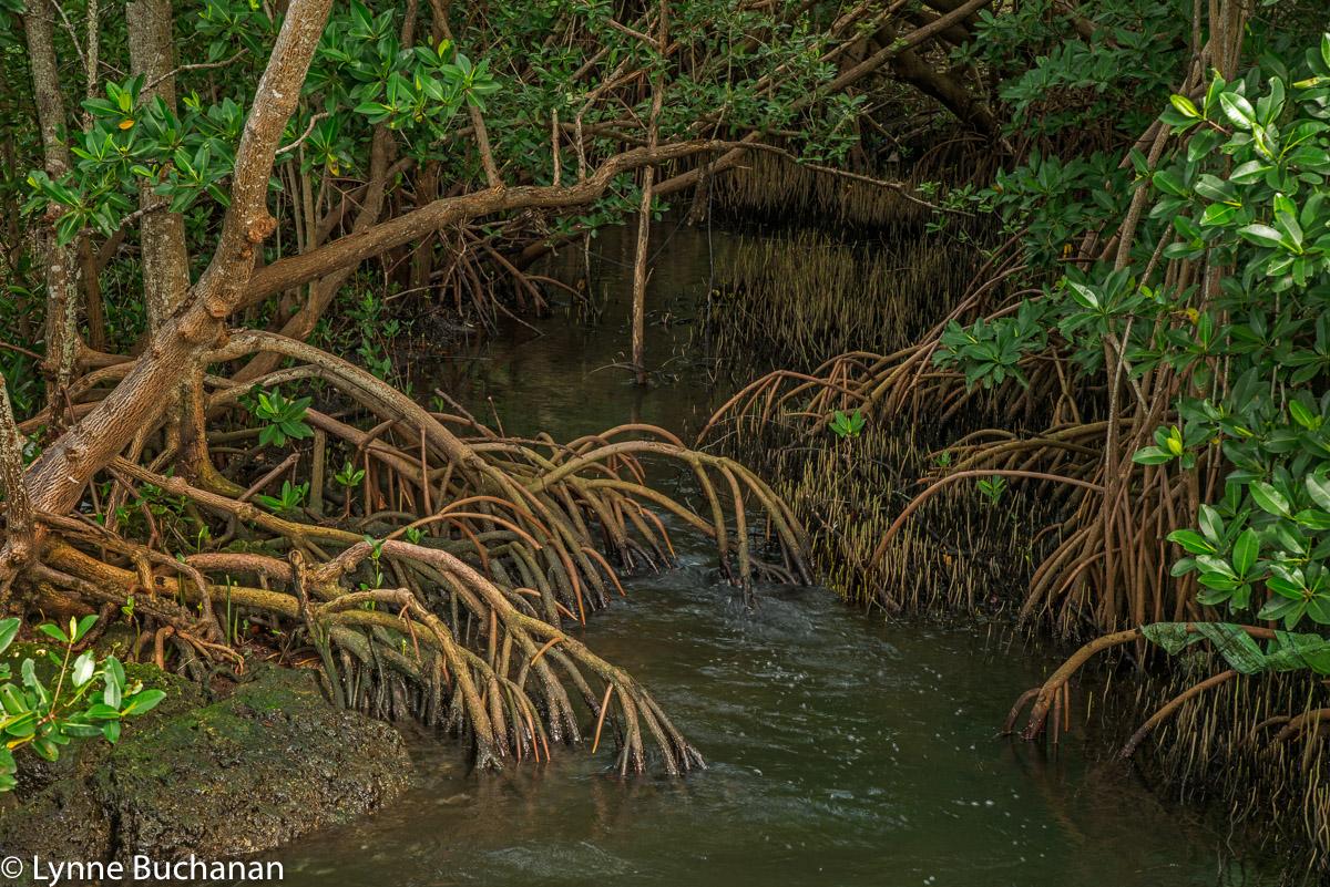 Mangroves Providing Shelter in Biscayne Bay