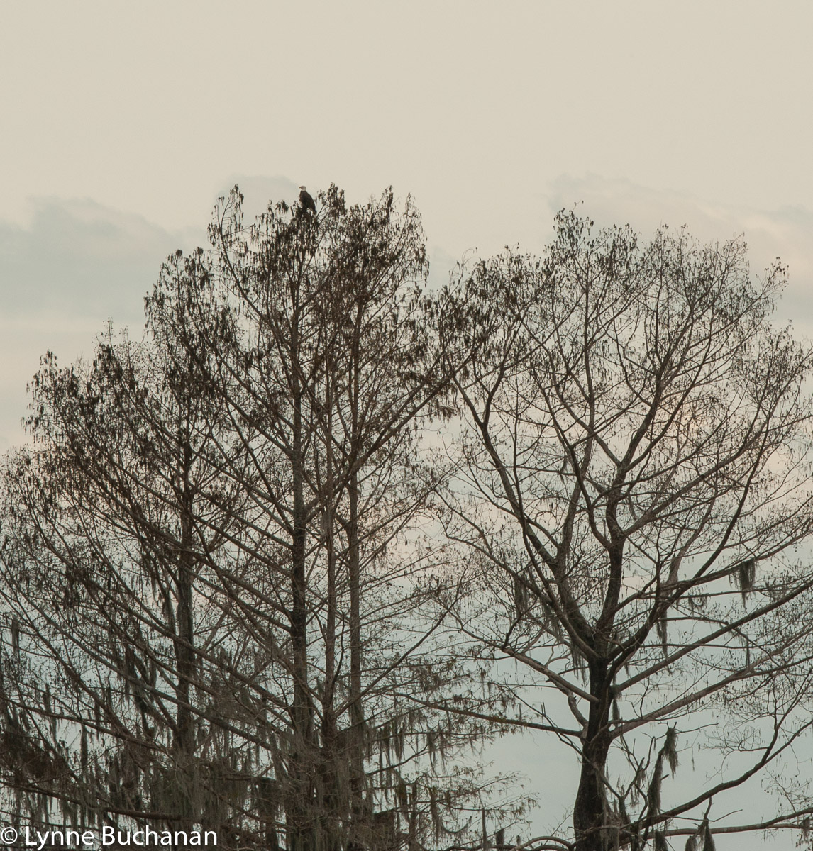 Bald Eagle on Top of the Trees