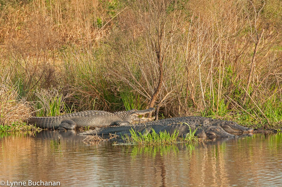 Pair of Alligators