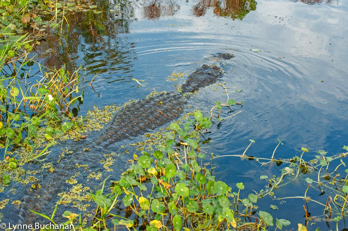 Emerging Alligator