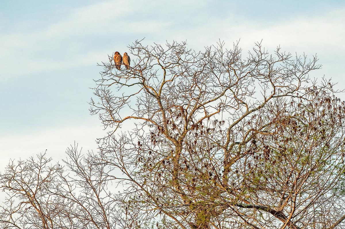 Hawk Couple, St. Johns River