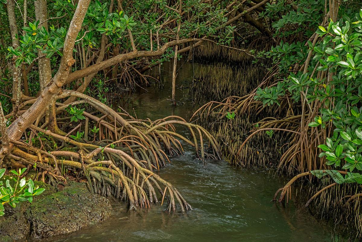 Mangroves Providing Shelter for Marine Life, Biscayne Bay