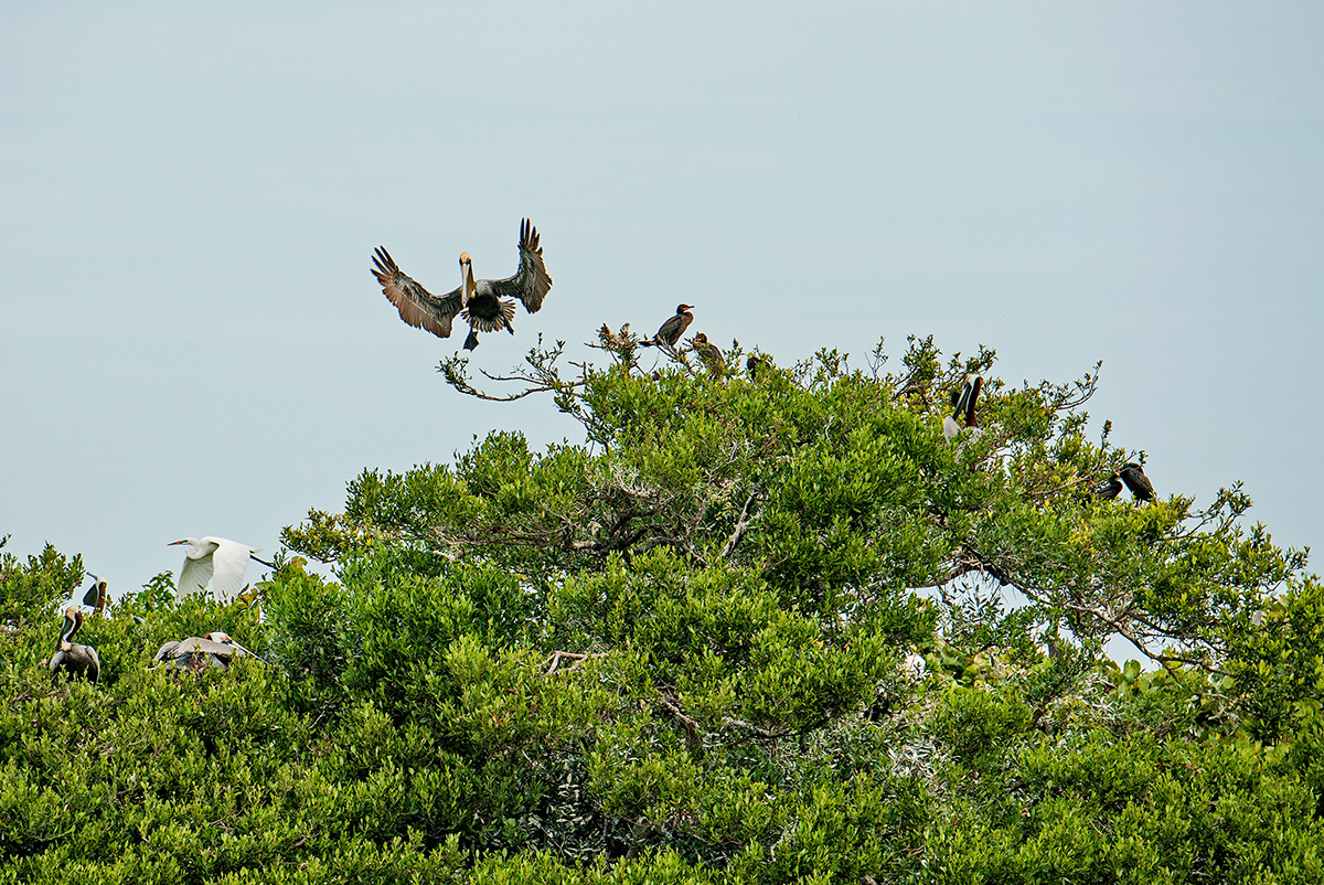 Pelican Landing, Bird Island, Indian River Lagoon